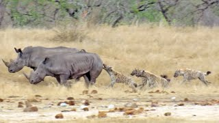Hyenas Gang Up Against Hurt Rhino