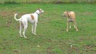 Two Greyhounds Playing