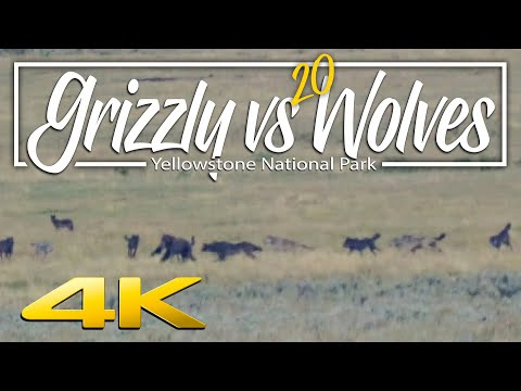 Grizzly vs. 20 wolves | Yellowstone National Park