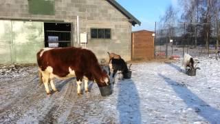 VideoKorabki: Grudniowe karmienie zwierząt gospodarskich