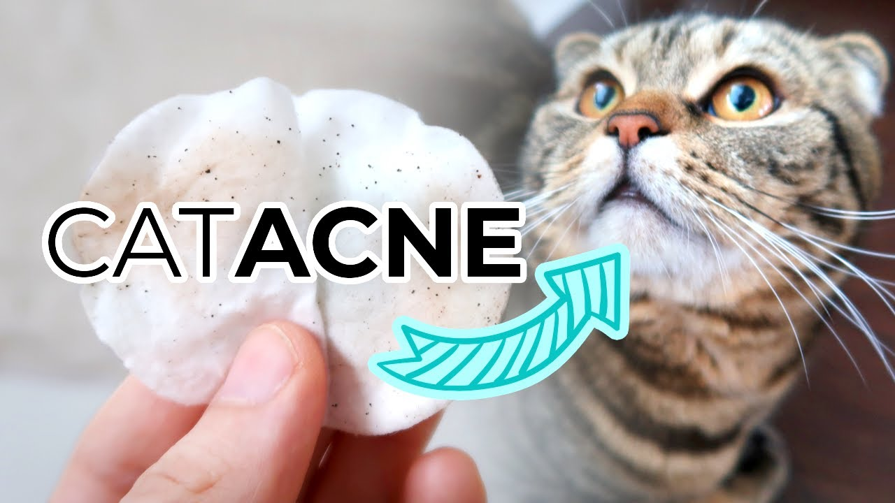 Feline Acne Treatment From Home How To Remove Cat Acne Or Blackheads From Your Cats Chin Youtube