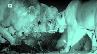 Avara luonto Leijonan yö