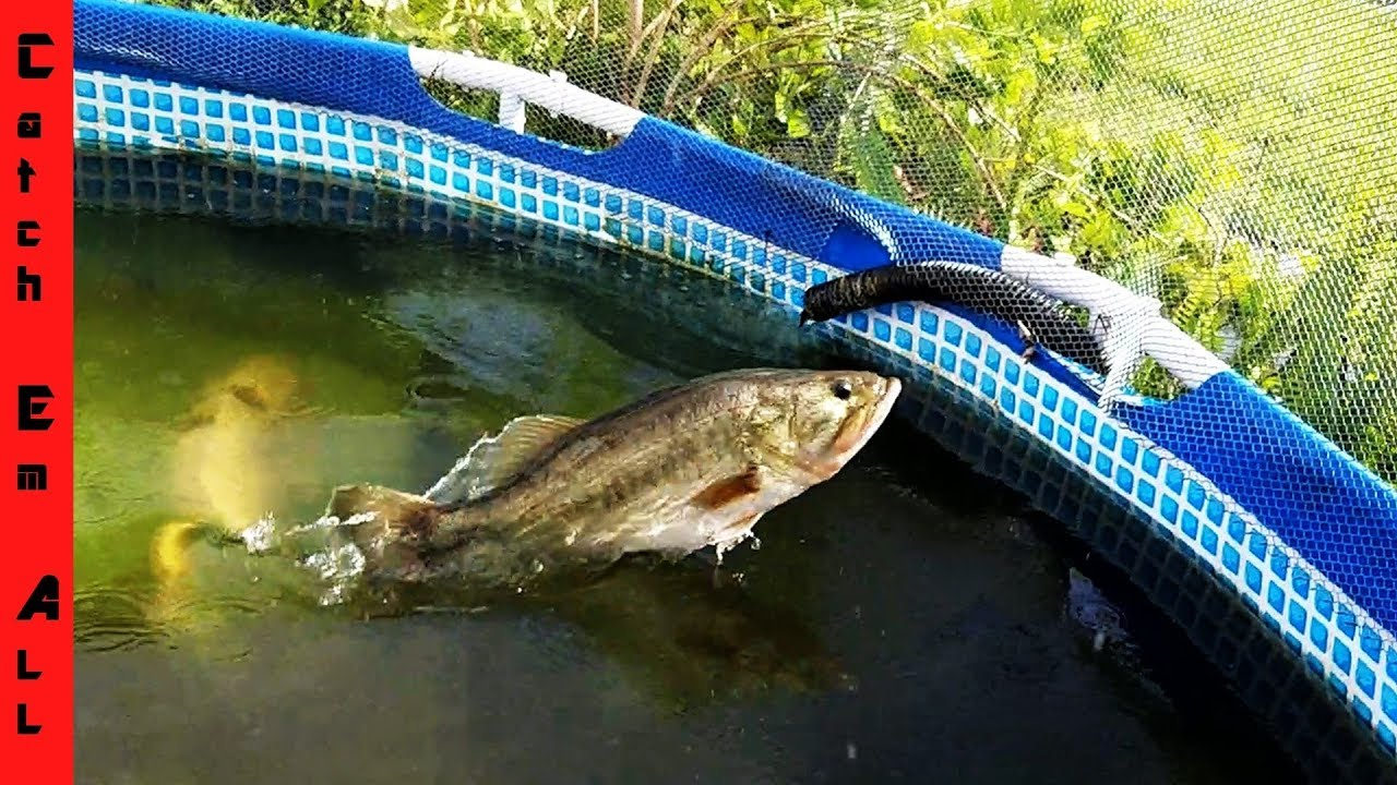 Training new monster fish pets in the pool pond youtube for Koi pond next to pool