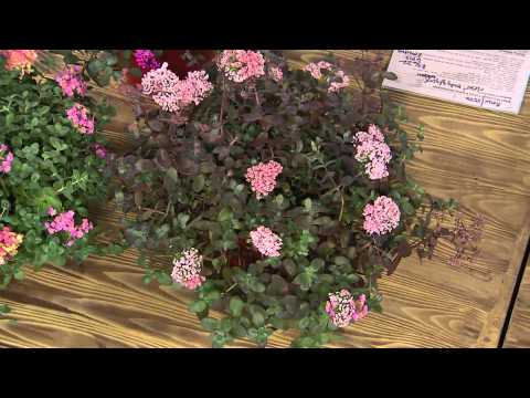Cottage Farms 6-piece Sunsparkler Sedum Collection with Carolyn Gracie
