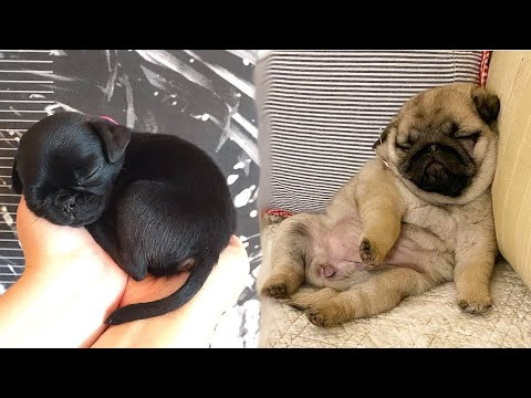 Funniest and Cutest Pug Dog Videos Compilation 2020  Cutest Puppy #7