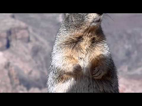 Squirrels At The Grand Canyon Bite Doovi