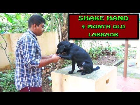dog training : Shake hand Command Malayalam :labrador training : വളര്ത്തു നായയെ പരിശീലിപ്പിക്കാം