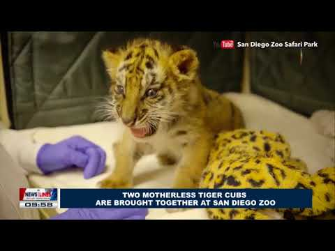 GLOBAL NEWS: Two motherless tiger cubs are brought together at San Diego Zoo