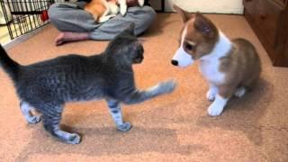 コーギー子犬vs子猫 ジャレ合い thumbnail