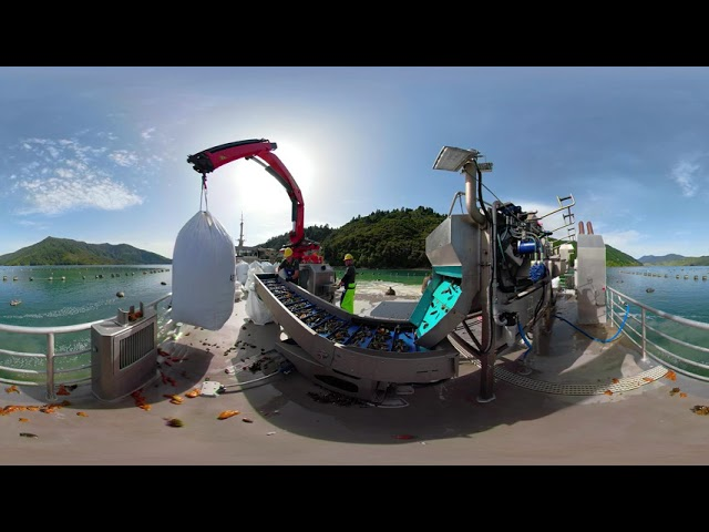 Aroma Harvesting Green-Lipped Mussels in The Marlborough Sounds, New Zealand