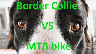 Бордер-колли против велосипеда / Border-collie VS bicycle