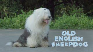 Old English Sheepdog  Rare Classic Dog Breed