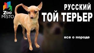 Русский Той Терьер  - Все о породе собаки   Собака породы - Русский Той Терьер
