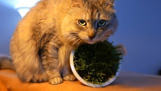 Cat Day! HAL is excited about his favorite grass! /ハルの猫の日