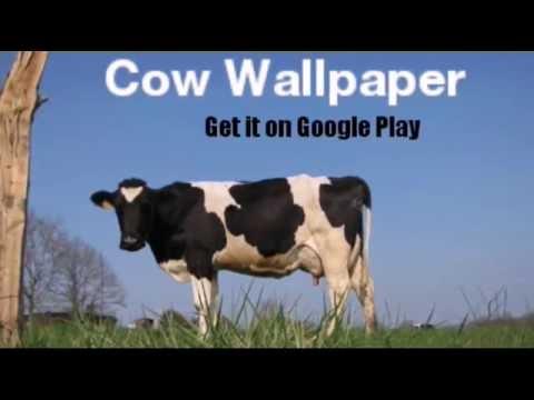 Cow Wallpaper Hd Youtube