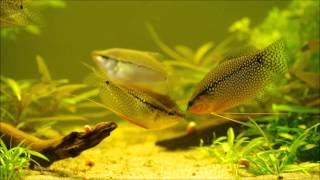 Punktierter fadenfisch trichogaster trichopterus im for Fadenfische zucht