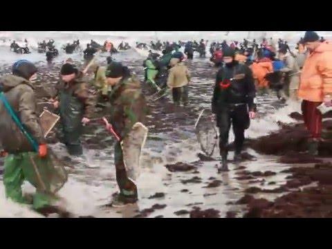 Начало сезона.Балтийское море. Ловцы Янтаря на сачок.