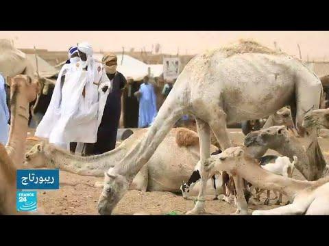 الجمل الموريتاني.. مأكل ومشرب ومركب وسلاح فتاك لتحقيق النصر في الحرب!  - نشر قبل 3 ساعة