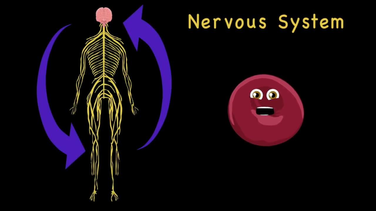 Human Body Systems For Kidshuman Anatomy For Kidshuman Anatomy