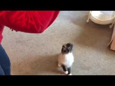 YoYo Cat - Ragdoll Cat Murphy Plays with a YoYo - Floppycats