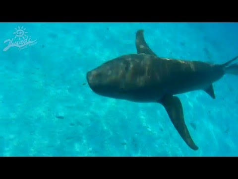 Swimming with Sharks | Fulidhoo, Maldives