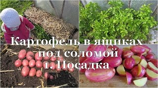 Картофель в ящиках под соломой. 1. Посадка // Potato in boxes. 1.  Planting(В этом видео я подробно показываю как сажаю картофель в ящики. Статья об этом на моем сайте: http://www.aleninsad.com/2014/..., 2015-05-11T08:53:27.000Z)