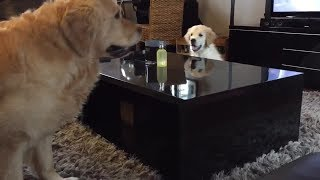 clever-golden-retriever-puppy-outsmarts-his-older-brother