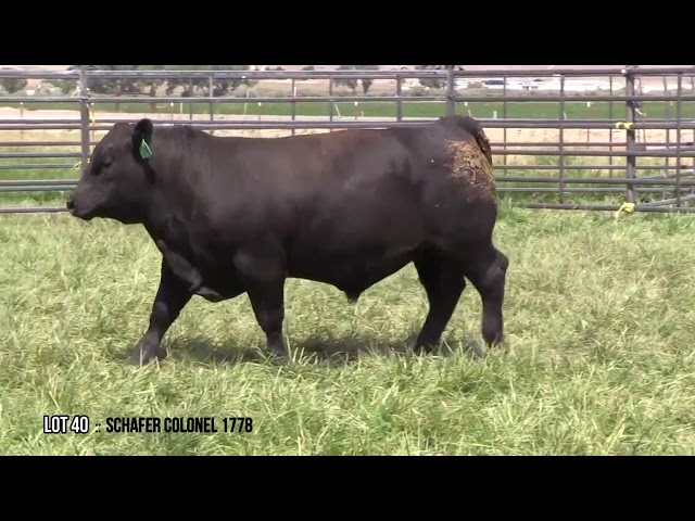 Mid Valley Bull Sale Lot 40