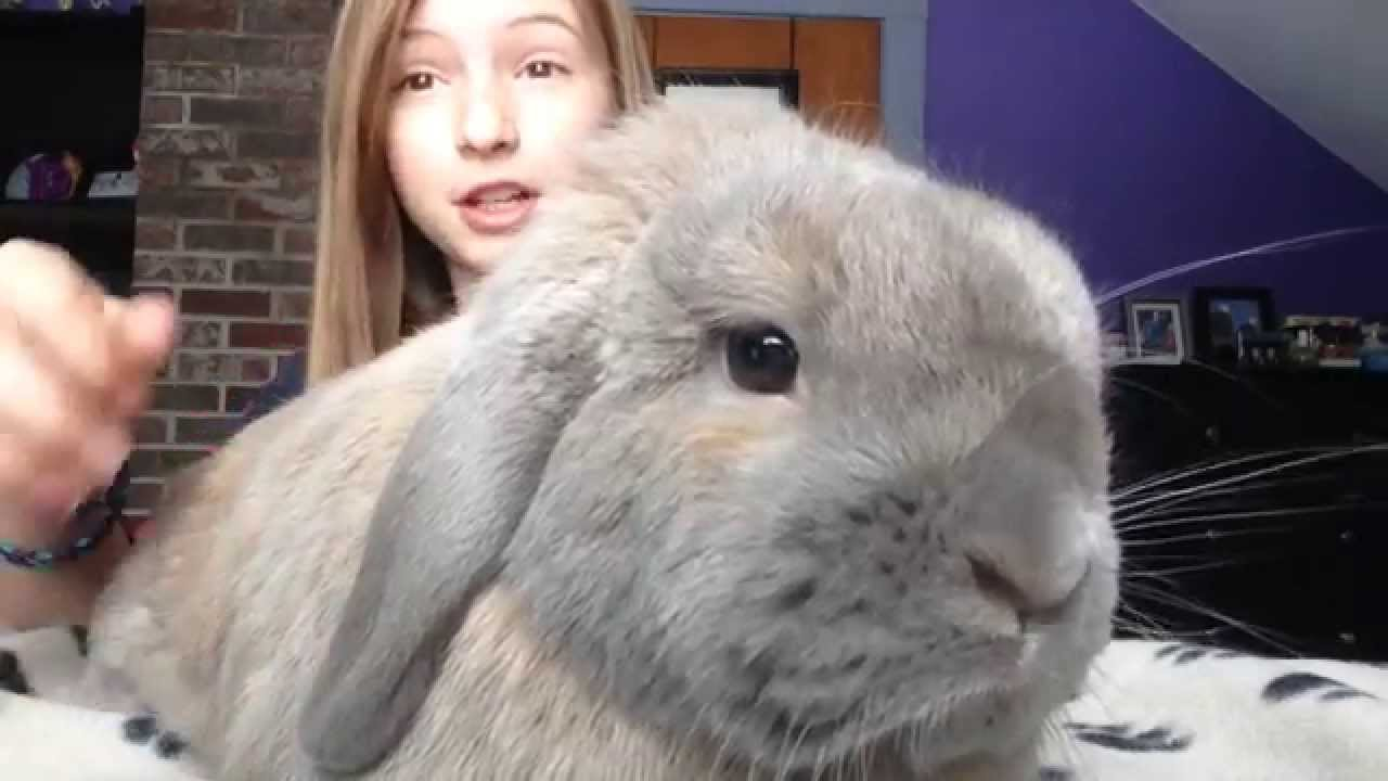 Rabbit Care - How to Pick up Your Bunny | Holland Lop | House ...