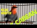 Burung Cabe Jawa Gacor Jinak Tidak Gila  Mp3 - Mp4 Download