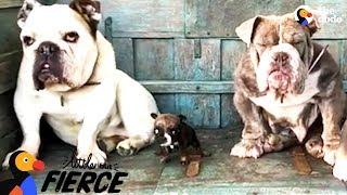 Teeny Tiny Bulldog Won't Stop Talking  | The Dodo Little But Fierce