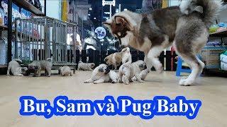 Pug Bư và Alaska Sam cũng phải sợ đàn Pug Puppy 2 tháng tuổi =))