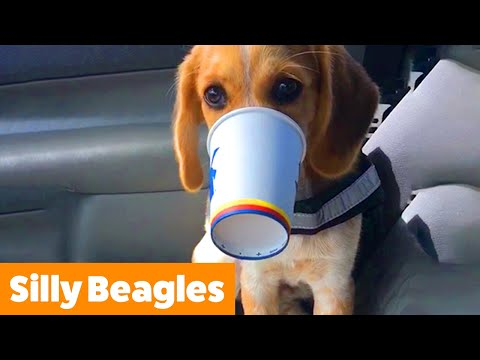 Cute Beagle Bloopers & Reactions | Funny Pet Videos