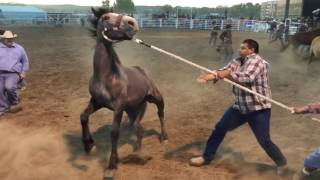 2 Wild Horse Races - Miles City Bucking Horse Sale 2017