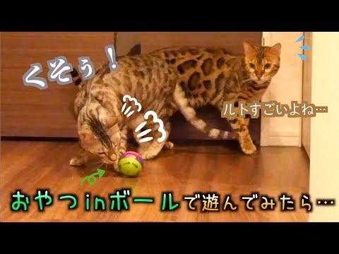 転がすとおやつが出てくるボールに苦戦する食いしん坊猫たち