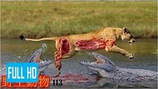 【動物 戦い 】野生動物-野生動物 戦い-ライオン vs バッファローとワニ...