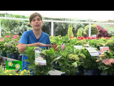 El jardinero en casa hortensias doovi - Cuidar hortensias exterior ...
