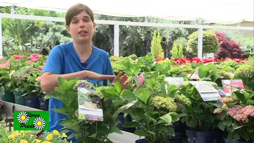 C mo cuidar las hortensias youtube - Como podar la hortensia ...