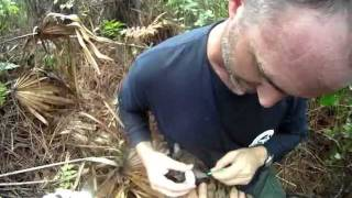 Panther Project: How We Collar a Florida Panther