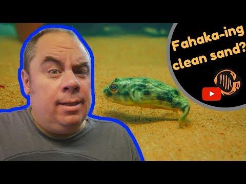 How to clean aquarium sand the easy way / Fahaka Puffer tank setup