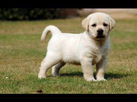 Top Show Quality Labrador Puppies Available For Sale