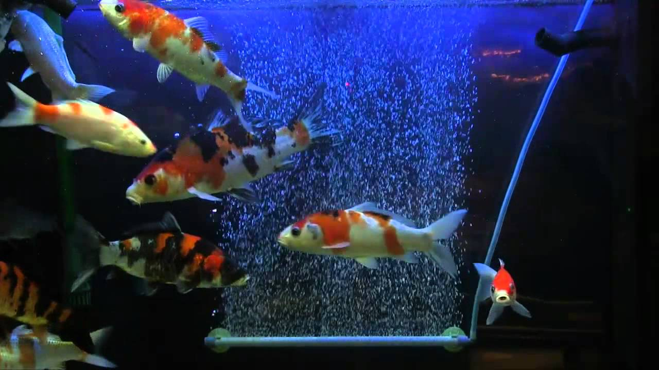 Koi carp fish in aquarium for Carp in a fish tank