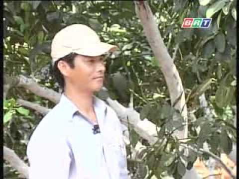 Phòng trừ sâu bệnh trên cây bưởi .flv