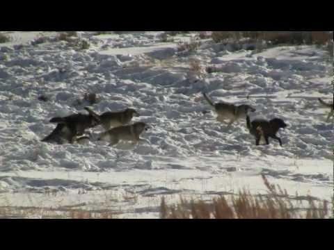 Wolf predation of elk in Lamar Valley, Yellowstone N.P.