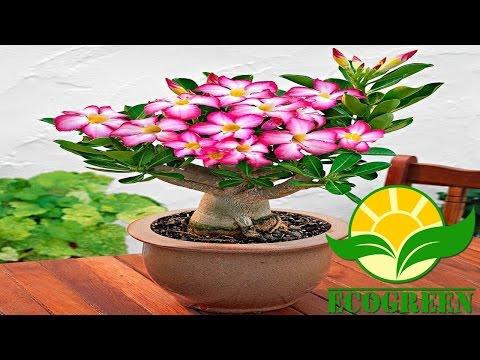 Adenium socotranum bonsai seedlings funnycat tv - Como cultivar bonsai ...