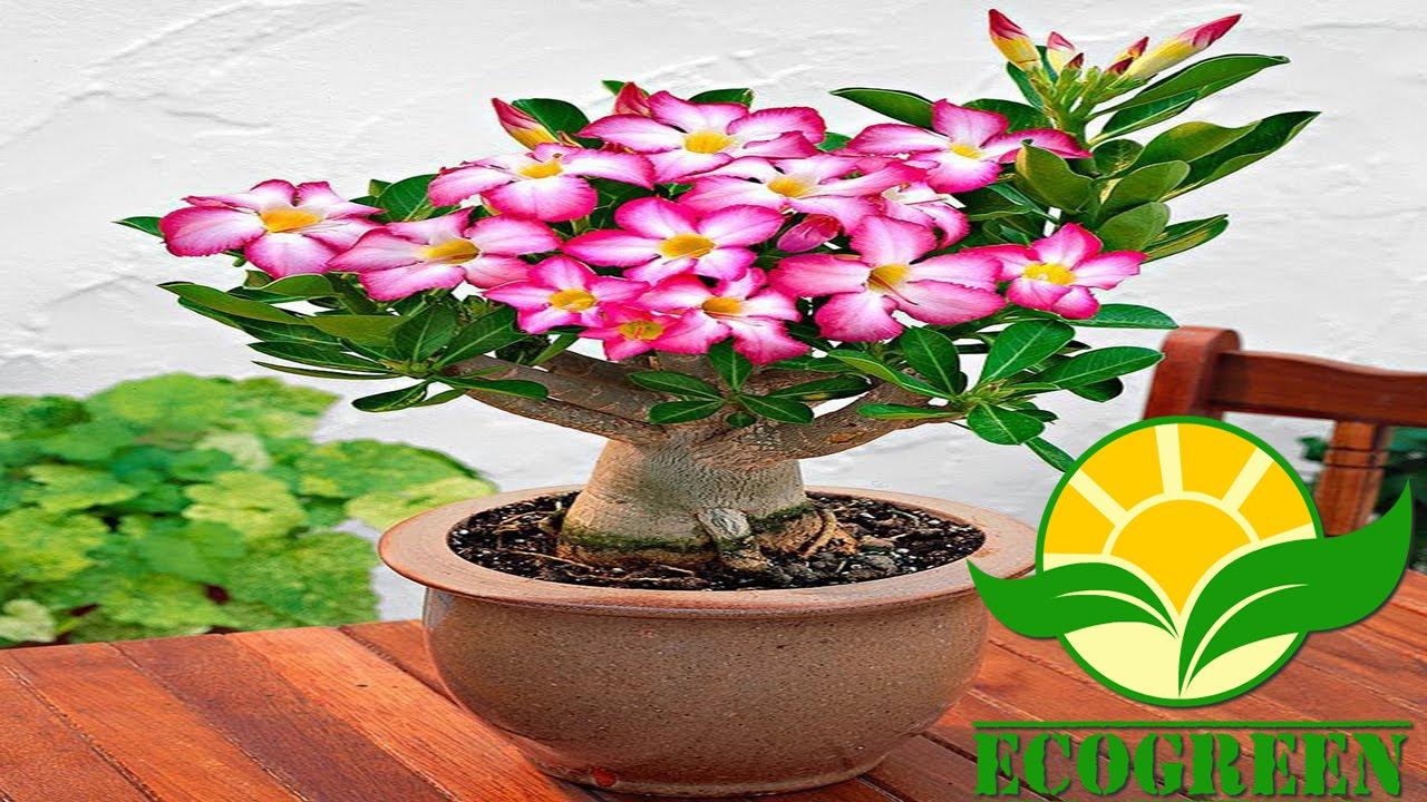 Como Plantar E Replantar Rosa Do Deserto Adenium Obesum How To