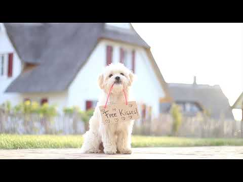 Smartest Havanese - Milo - Dog Tricks