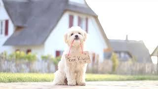 Smartest Havanese  Milo  Dog Tricks