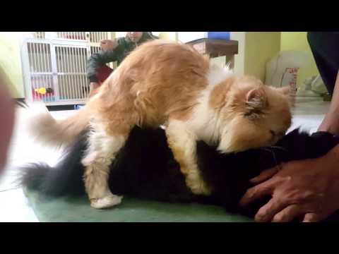pacak kucing peaknose bandung