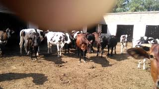 Our Milking cow's setup for milk 03459442750 Zain Ali Farming in Pakistan